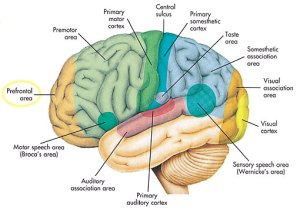 cara membuat otak berfikir lebih cepat, bagian otak, fungsi otak manusia, komponen otak